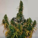 Formula One Auto (Flash Auto Seeds) feminized