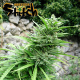 Muay Thai SuperAuto (Flash Auto Seeds) feminized
