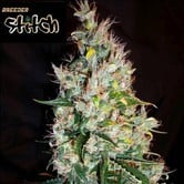 Russian Haze Auto (Flash Auto Seeds) feminized