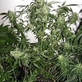 Santa Auto (Flash Auto Seeds) feminized