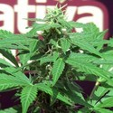 Trans Love (John Sinclair Seeds) feminized