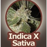 White Panther (John Sinclair Seeds) feminized
