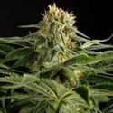 California Hash Plant (Dinafem) feminized