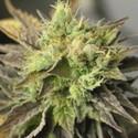 Double Diesel Ryder (Sagarmatha Seeds) feminized