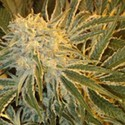 Northern Lights 9 (Sagarmatha Seeds) feminized