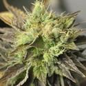 Strawberry D-Lite (Sagarmatha Seeds) feminized