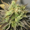 Strawberry D-Lite (Sagarmatha Seeds) feminized