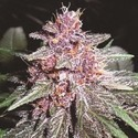 Violeta (ACE Seeds) feminized