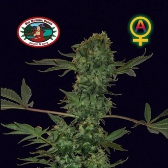 Big Buddha Cheese Automatic (Big Buddha Seeds) feminized