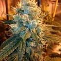 Ganja Farmer OG (Loud Seeds) feminized