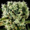 Moby Dick 2 (Dinafem) feminized