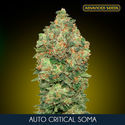 Auto Critical Soma (Advanced Seeds) feminized