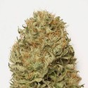 Blue Dream Auto (Humboldt Seeds) feminized