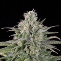 UK Cheese Auto (Humboldt Seeds) feminized