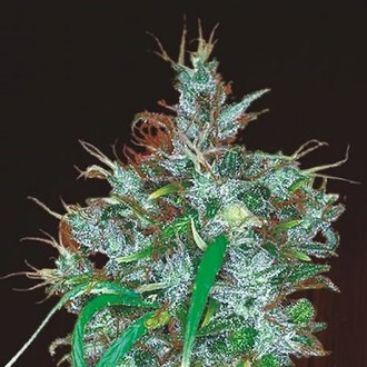 Panama Haze (ACE Seeds) feminized
