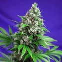 Killer Kush - F1 Fast Version (Sweet Seeds) feminized