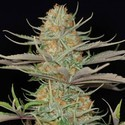 Sweet Deep Grapefruit (Dinafem) feminized