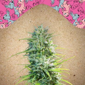 SexBud (Female Seeds) feminized
