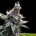 Florida OG (Grow Your Own Collection) feminized