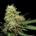 R.K.S. (Grow Your Own Collection) feminized