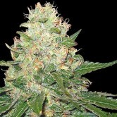 Rocklock (Grow Your Own Collection) feminized