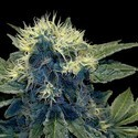 Sharksbreath (Grow Your Own Collection) feminized