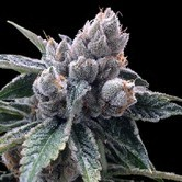 White Walker Kush (Grow Your Own Collection) feminized