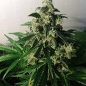 Think Different (Dutch Passion) feminized