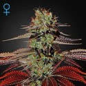 King's Kush Autoflowering (Greenhouse Seeds) feminized