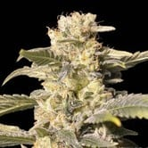 TNT Kush CBD (Eva Seeds) feminized