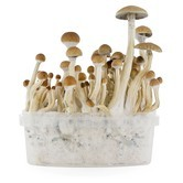 Paddo Grow Kit Fresh Mushrooms 'B+'