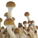 Paddo Grow Kit Fresh Mushrooms 'B+'
