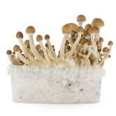 Fresh Mushrooms Zuchtset 'McKennaii'