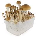 Paddo Grow Kit Fresh Mushrooms 'McKennaii'