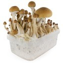 Paddo Grow Kit Fresh Mushrooms 'McKennaii'