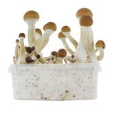 Paddo Grow Kit Fresh Mushrooms 'Golden Teacher'