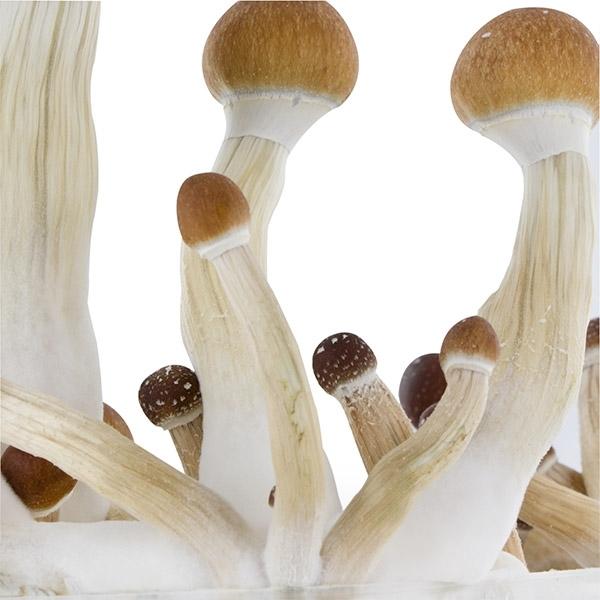 how to grow golden teacher mushrooms