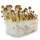 Fresh Mushrooms Zuchtset 'Ecuador'