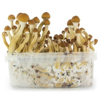 Paddo Grow Kit Fresh Mushrooms 'Ecuador'