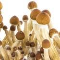 Paddo Grow Kit Fresh Mushrooms 'Ecuador'