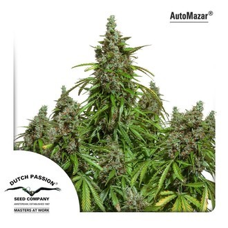 Auto Mazar (Dutch Passion) feminized