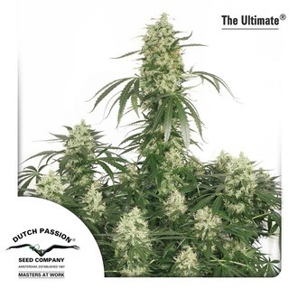 The Ultimate (Dutch Passion) feminized