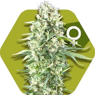 Power Plant XL (Zambeza) feminized