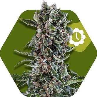 Blueberry Cheese Autoflowering (Zambeza) feminized
