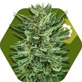 White Cheese Autoflowering (Zambeza) feminized