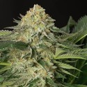 Lemon Garlic OG (Humboldt Seeds) feminized