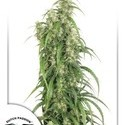 Mekong High (Dutch Passion) feminized