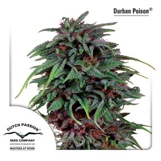 Durban Poison (Dutch Passion) feminized