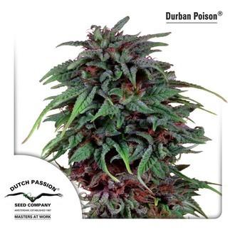 Durban Poison (Dutch Passion) feminized