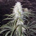 Sterling Haze (Nirvana) Feminized